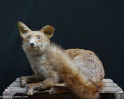renard assis naturalisé